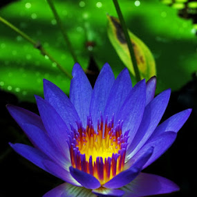 The widow flower - Water lily by Fajar Krisna - Nature Up Close Flowers - 2011-2013 ( purple, water lily, sink on the water )