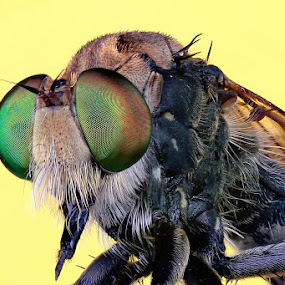 Face to Face Robber fly by Budi Risjadi - Animals Insects & Spiders