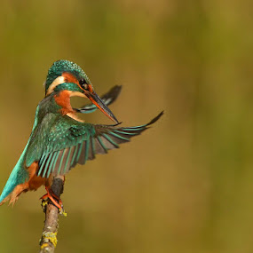 The conductor  by Keith Bannister - Animals Birds ( animals, nature, wildlife, kingfishers, birds )