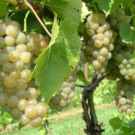 Niagara Grapes by Anita Frazer - Nature Up Close Gardens & Produce ( plant, fruit, grapes, white, niagara, american variety,  )