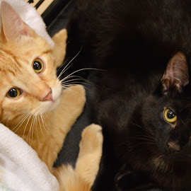 Strays by Rebekah Cameron - Animals - Cats Kittens ( love, cats, orange, stray, kittens, black )