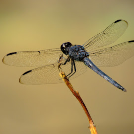 Dragon On Wing by Christine Keaton - Animals Insects & Spiders