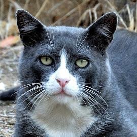 A stranger in my garden... by Lorraine Bettex - Animals - Cats Portraits