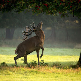 Breakfast Time by Avtar Ram - Animals Other ( red, nature, tree, antlers, wildlife, stag, deer, animal )