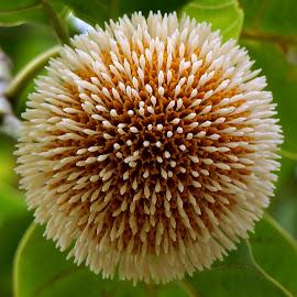 Kadamb Flower by Brij Naik - Flowers Single Flower ( orange, nature, tree, kadamb, garden, flower, closeup )
