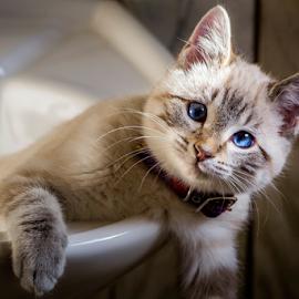 Just Hangin' Here by Julie Wooden - Animals - Cats Kittens ( cat, kitten, north dakota, hebron, fine art, indoors, sink, sam, autumn, fall, feline, animal, desaturated,  )