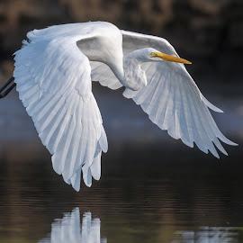 Great Egret  by Carl Albro - Animals Birds ( bird, flying, wading bird, bif )