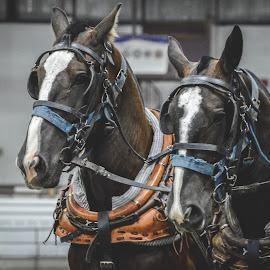 Team Work by Alex Rosenkranz - Animals Horses (  )