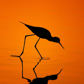 Black-Winged Stilt's Silhouette... by BhanuKiran BK - Animals Birds ( silhouette relfection, reflection, stilt, silhouette, black-winged stilt, gold, golden, golden light,  )