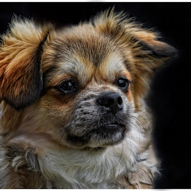Sitting proud by Chaz Clark - Animals - Dogs Portraits ( blacked background, headshot, d7100, dog portrait, nikon, dog, close up )