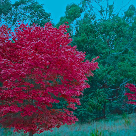 Colour Me Red by Glen John Terry  - Nature Up Close Trees & Bushes ( red, tree, glenjohnterry, red leaves, fall, autumn colors,  )