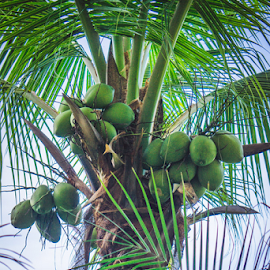 Coconut Tree by Laurie Crosson - Nature Up Close Trees & Bushes ( palm tree, tree, costa rica, coconut tree, coconut )