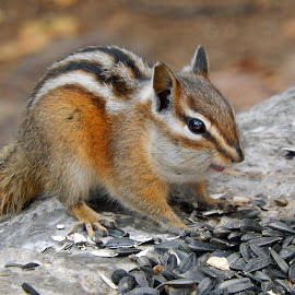 Chipmunk by Dawn Hoehn Hagler - Animals Other Mammals ( box canyon park, chipmunk, colorado, stripes, rodent, box canyon )