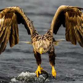 Sea eagle by Dennis Hallberg - Animals Birds ( white-tailed eagle, eagle, sea eagle )