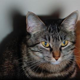 by Jack Raymond - Animals - Cats Portraits