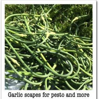 Scape Pesto Recipes