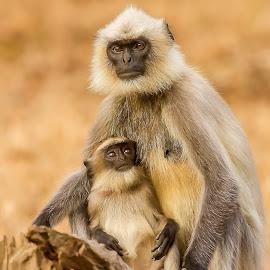 Grey Langur by S Balaji - Animals Other ( s.balaji, wild, animals, langur, nature, birds )