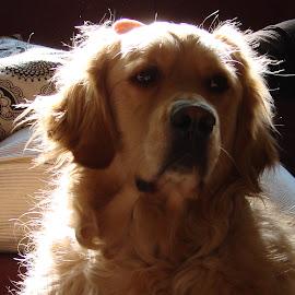 Sam by Karen Arnold - Uncategorized All Uncategorized ( dogs., golden retriever,  )