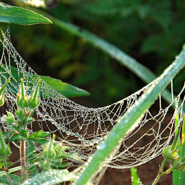 Morning Dew by A.j. Amos - Nature Up Close Webs ( nature, web, dew drops, scenery, close up )