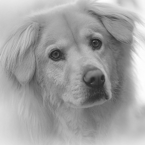 Ely by Gary Enloe - Black & White Animals ( k-9, pet, puppy, pooch, dog, golden )