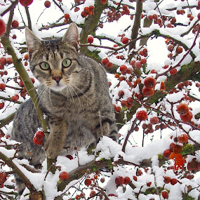 I can see you ... by Thomas Stroebel - Animals - Cats Playing ( climbing, cat, winter, tomcat, tree, penu, green eyes )