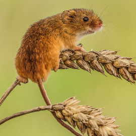 Harvest mouse by Garry Chisholm - Animals Other Mammals ( mice, garry chisholm, mouse, nature, wildlife )