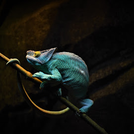 Pardon's Chameleon by Tseng Wen Choo - Animals Reptiles ( colour, chameleon, animal, zoo, lizard,  )