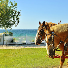 Straits View Park Mackinaw Island by Tim Hall - Animals Horses ( draft horses, team of horses, mackinack island, mackinaw islamd horses )