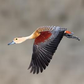 Lesser Whistling  ducks by Chandra Mouli Roy Chowdhury - Animals Birds