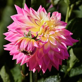 Dahlia 8656~ by Raphael RaCcoon - Flowers Flower Gardens