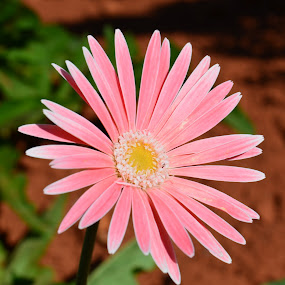 Pink Daisy by Jared Van Bergen - Nature Up Close Flowers - 2011-2013 ( nature, daisy, pink, flowers, photography )