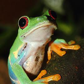 Agalychnis by Gérard CHATENET - Animals Amphibians