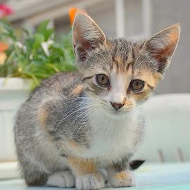 by Biljana Nikolic - Animals - Cats Kittens