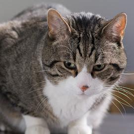 by Martín Silva Cosentino - Animals - Cats Kittens ( flash, cat, european, andorra, estudios )