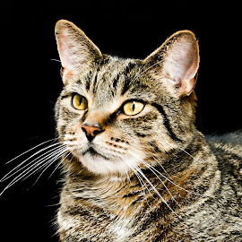 Black Background Tabby Cat Portrait  by Vicki Roebuck - Animals - Cats Portraits ( contrast, black background, natural light, tabby, eyes, markings )