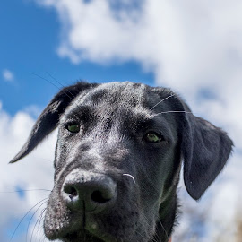 Bruno  by Andrew Robinson - Animals - Dogs Portraits ( labrador retriever, puppies, dogs, labrador )