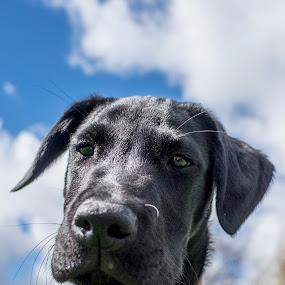 Bruno  by Andrew Robinson - Animals - Dogs Portraits ( labrador retriever, puppies, dogs, labrador )
