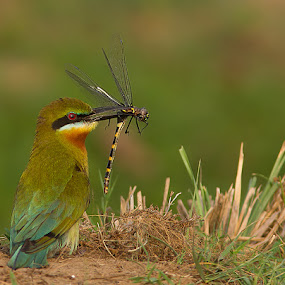 Blue-tailed Beeeater by Jineesh Mallishery - Animals Birds ( bird, bluetailed bee eater, jineesh, wildlife, bee eater )