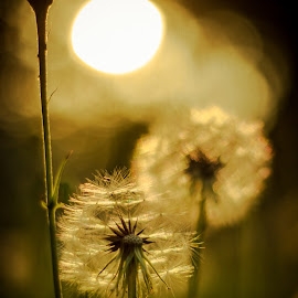 Enjoy the Little Things by Diane Eskridge - Typography Captioned Photos ( dandelion, sunset, back lit )
