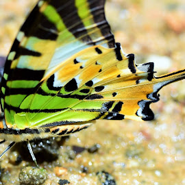Butterfly by Cheng Hoe Wong - Animals Reptiles