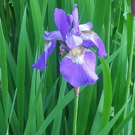 Iris by Kathy Smith - Novices Only Flowers & Plants