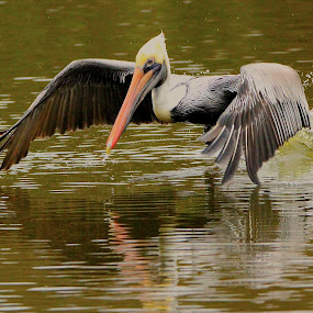 Pelican Skims Water With Wing Tips by Keith Lowrie - Animals Birds ( white pelican, brown pelican, in flight pelican, fish eating birds, pelican,  )