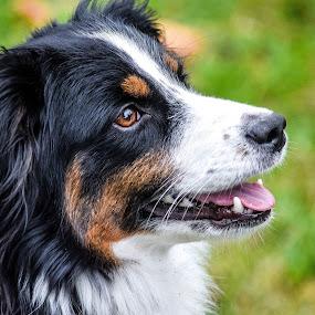 Adult Mini Aussie Portrait by Jason Lockhart - Animals - Dogs Portraits ( pet portrait, wisconsin, female, mini aussie, madison, dog )