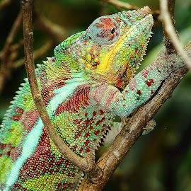 L'ascension by Gérard CHATENET - Animals Reptiles