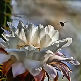 Buzzing by by Dave . - Nature Up Close Flowers - 2011-2013 ( plant, desert, nature, bee, beautiful, bloom, cardon cactus, night bloom, flower, cactus )