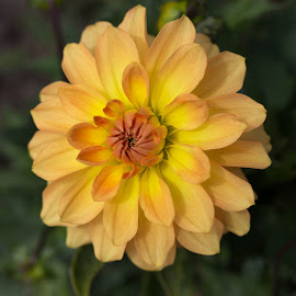 Good Morning by Janet Marsh - Flowers Single Flower ( pescadero, dahlia, peach, yellow )