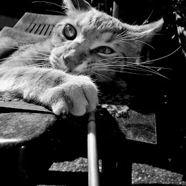 BLACK & WHITE PORTRAITS by Redski Pictures - Animals - Cats Portraits ( playing, cat, black and white, portrait, animal )