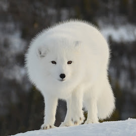 Polar fox by Anngunn Dårflot - Animals Other Mammals