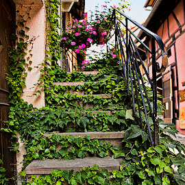 Eguisheim by Berrin Aydın - Buildings & Architecture Other Exteriors ( stairs, france, alsace, ivy, flowers,  )