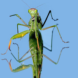 Mantis religiosa by Gérard CHATENET - Animals Insects & Spiders